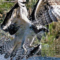 Osprey Management