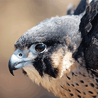 Peregrine Falcon Monitoring and Management