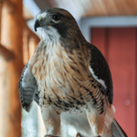 Sponsor the Red-tailed Hawk