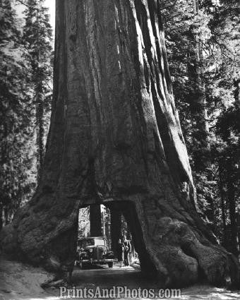 Giant REDWOOD YOSEMITE NATL PARK  2561