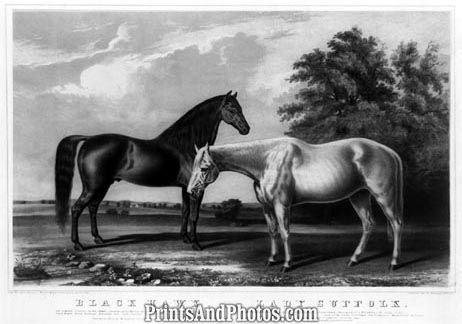 Horses Black Hawk Lady Suffolk  4552