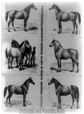 Principal Breeds of Horses North American 4703