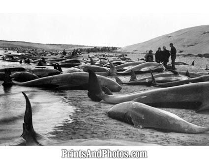 Beached Pilot Whales  5623