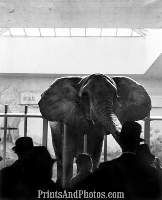 Elephant in Zoo  6447