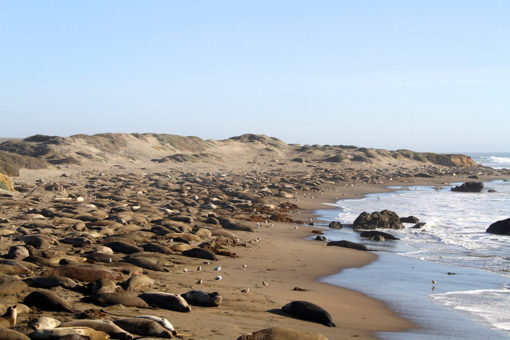 Elephant Seal Vista