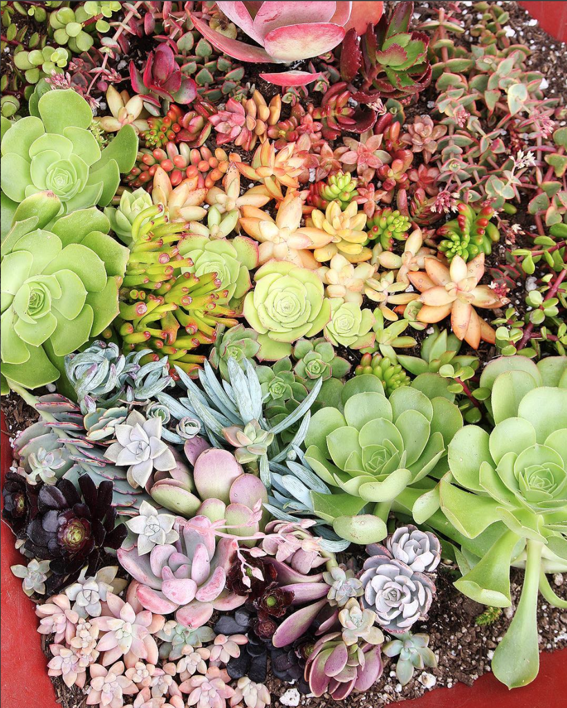 growing succulents - plants that are easy to grow and come in a variety of colors and textures.  create a little garden today.