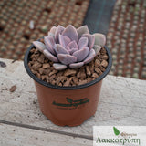 Graptoveria Debbie
