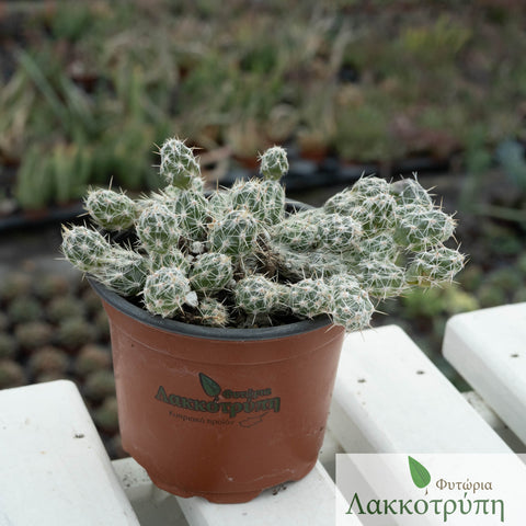 Opuntia invicta mini