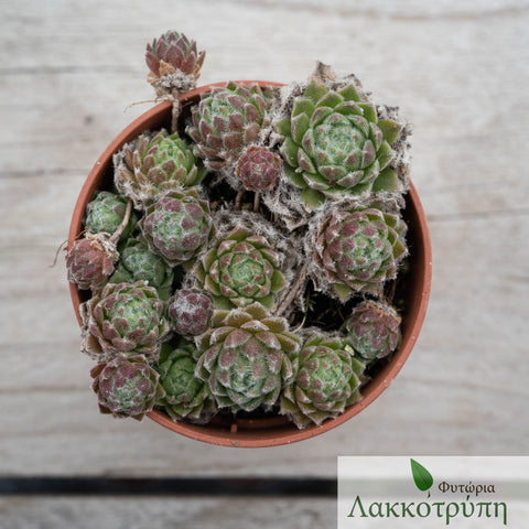 Sempervivum sp