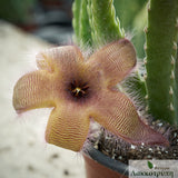 Stapelia gettliffei