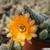 Chamaecereus silvestrii - orange flower