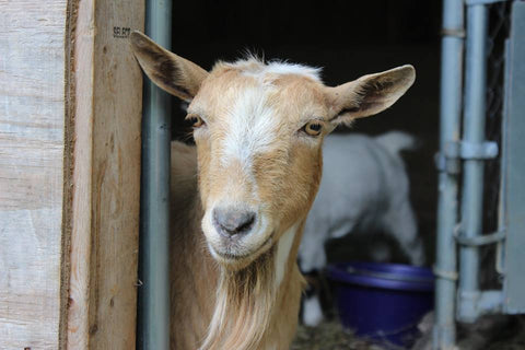 Nigerian Goat looking  at camera