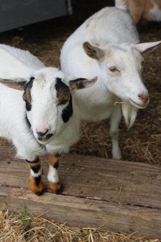 Nigerian Goats standing in barn