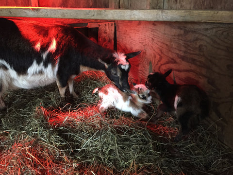 Whitetail Lane farm Dwarf nigerian goat kids JPG