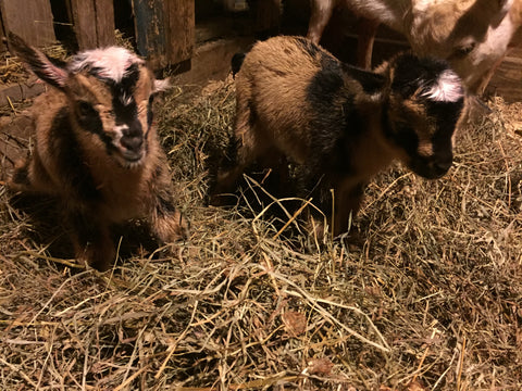 dwarf nigerian goat kis just born
