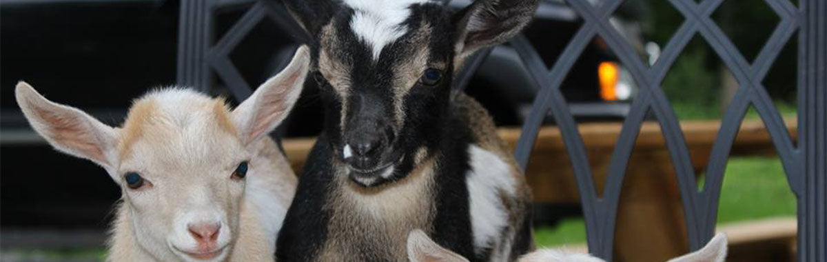 Dwarf Nigerian Goats Whitetail Lane Farm State College PA