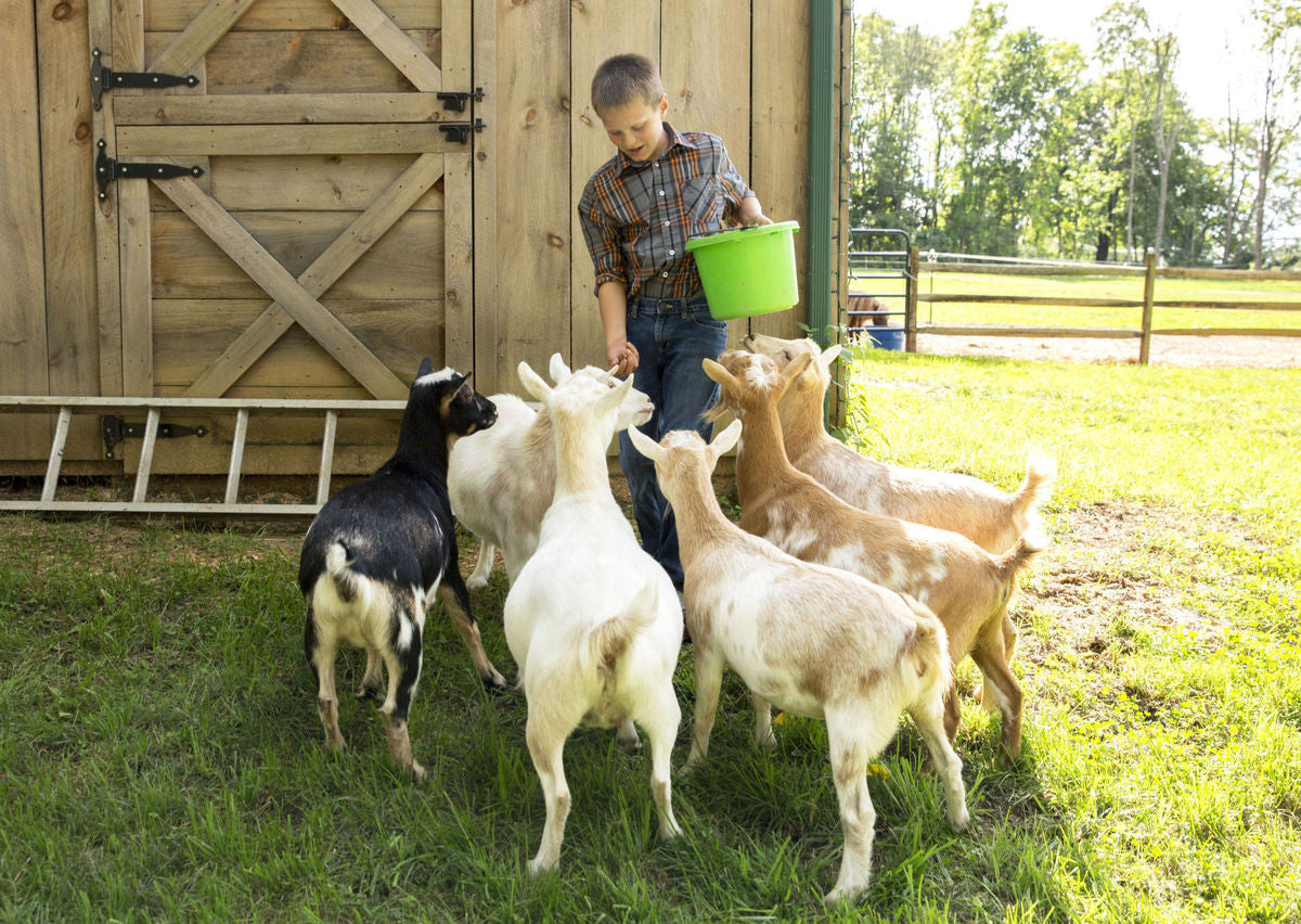 Goats at Whitetail Lane Farm