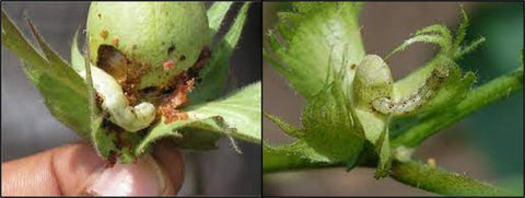 American Bollworm on cotton
