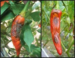 Anthracnose of Chilli