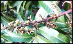 Anthracnose on Mango flowers