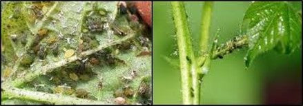 Aphid on cotton