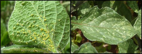 Aphids and leaf hoppers in Potato crop