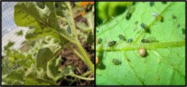 Aphids in watermelon crop