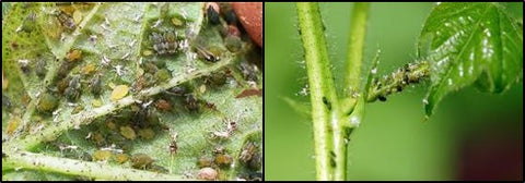 Aphids on Cotton
