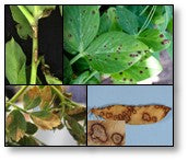 Ascochyta blight disease on Peas and chickpea