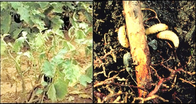 Ash weevil grub damage in Brinjal crop