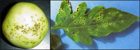 Bacterial Speck disease on tomato