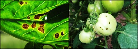 Bacterial Speck disease of tomato