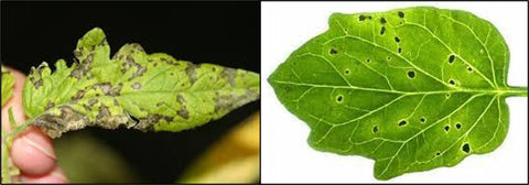 Bacterial Speck disease of tomato leaf
