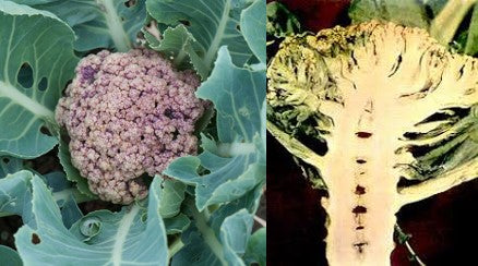 Browning and hollow stem in cauliflower