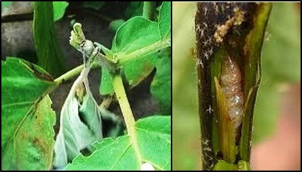 Brinjal Shoot and fruit borer infestation