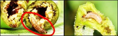Brinjal Shoot and fruit borer larvae
