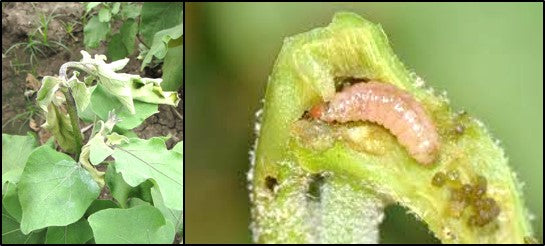 Brinjal Shoot and fruit borer on brinjal Shoots