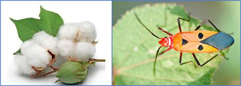 Insects and Cotton