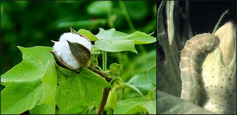 Cotton crop insects