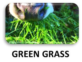 Cows fed with Green grass