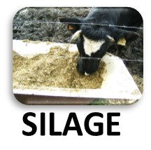 Cows fed with Silage