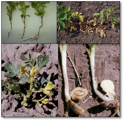 Dam-ing off disease of Chickpea and pea