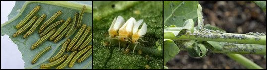 Different insects in crops
