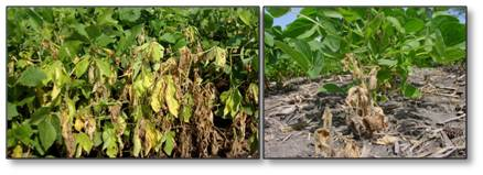 Diseases that can be controlled with trichoderma spp