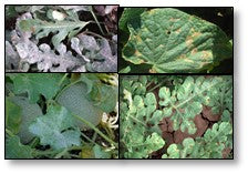 Downy and Powdery mildew of Cucurbits