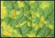 Downy mildew infection on gourds
