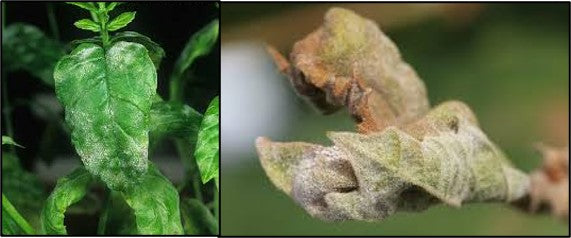 ERYSIPHE ORNTII infection powdery mildew