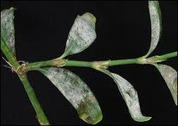Powdery mildew disease caused by ERYSIPHE POLYGONI