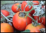 Early blight infections of Tomato fruits