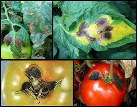 Early blight disease in Tomato crop